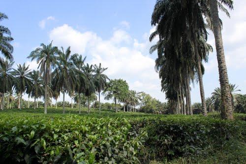 Tempat-Menarik-di-Selangor-Ladang-BOH-Bukit-Cheeding