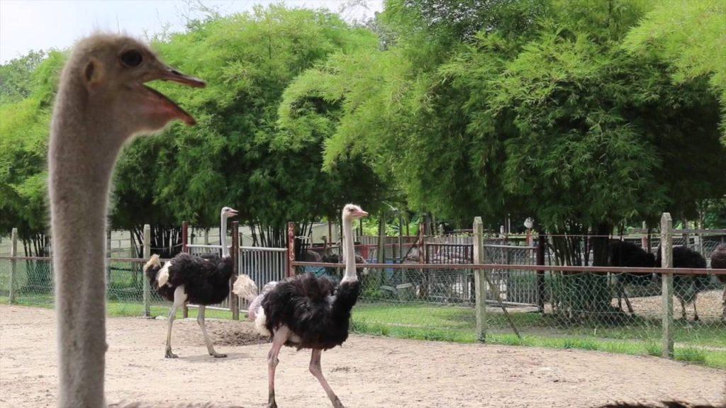 Tempat-Menarik-di-Selangor-Ostrich-Wonderland-Semenyih