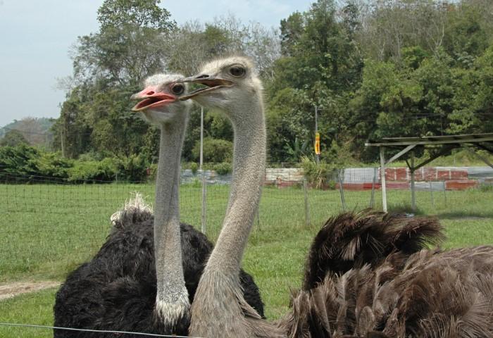 Tempat-Menarik-Di-Johor-Ostrich-Farm-Desaru