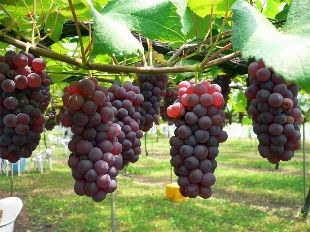 Tempat-Menarik-di-Perak-Ladang-Anggur-Saloma